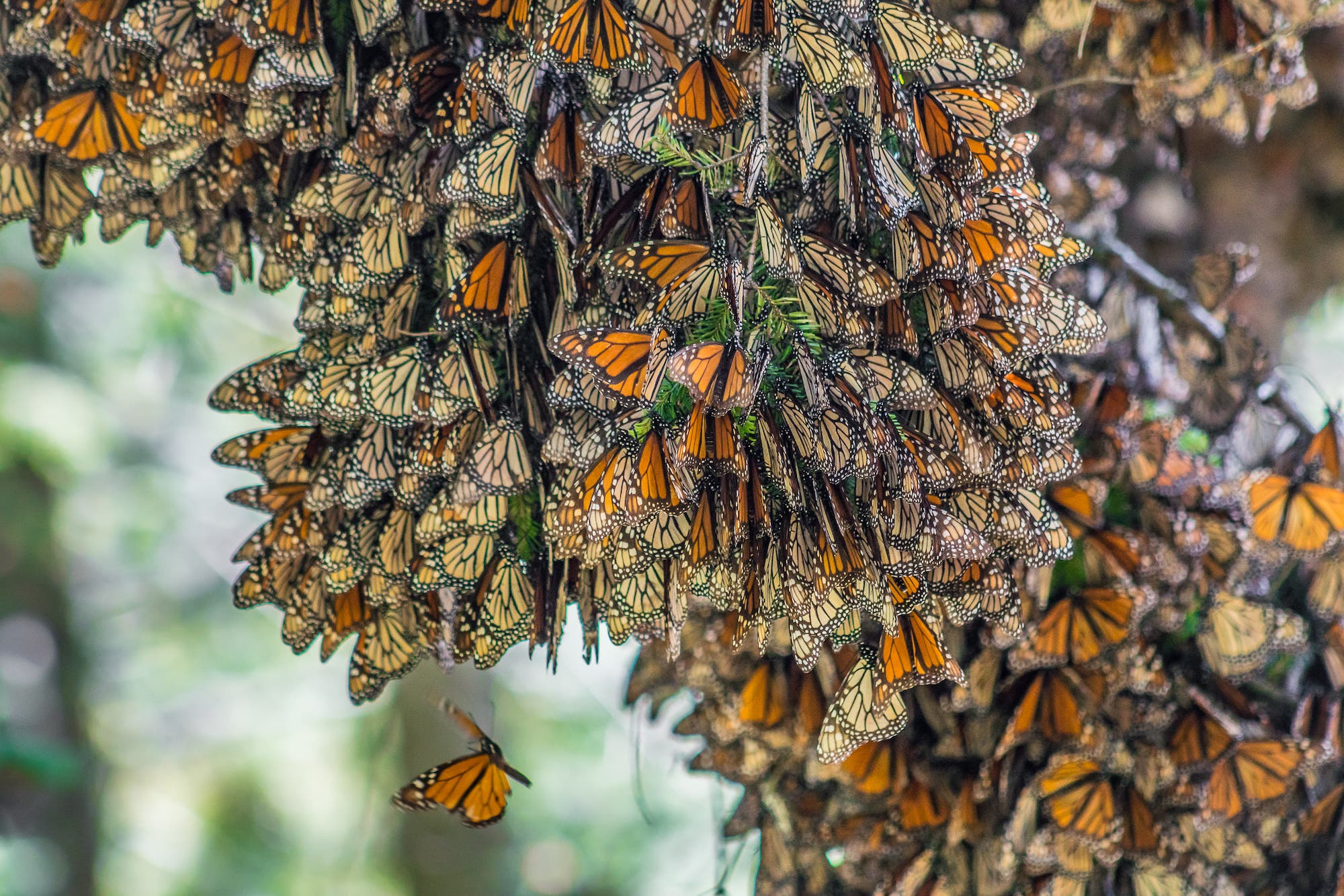 Mariposas Monarcas del Vallo del Bravo